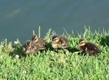 duck family4
