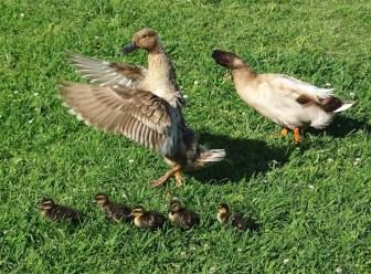 duck family7