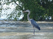 great blue heron standing in flood water