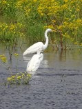 great egrets 12
