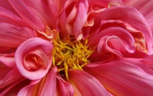 deep pink flower