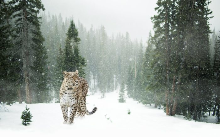snow leopard in great himalayan national park