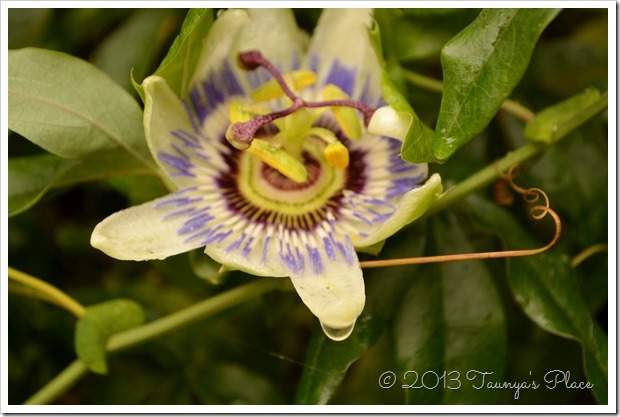 Passion Flower with raindrop