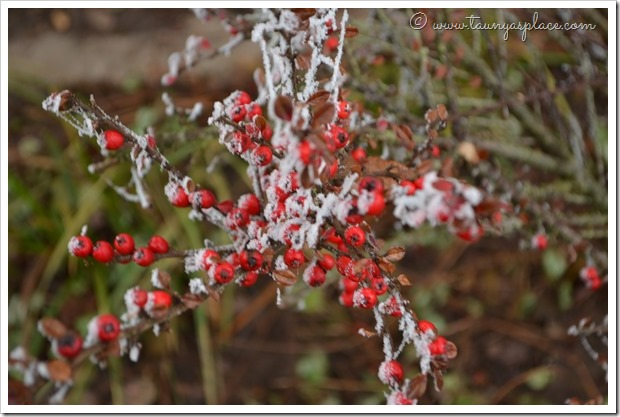 December Walk - Red Berries with Frost