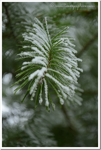 December Walk - Frost Covered Pine Needle