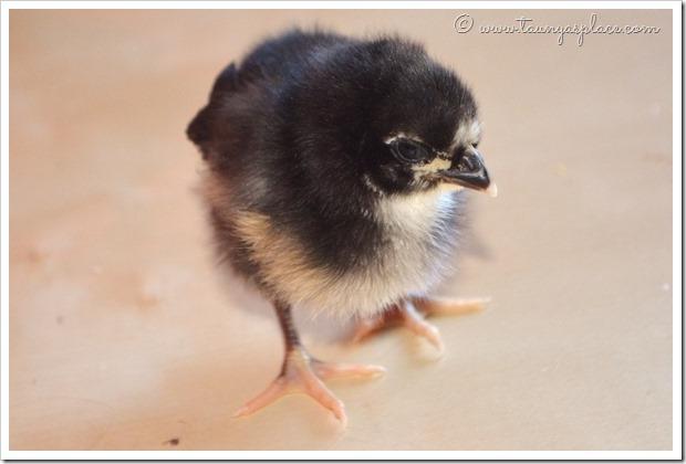 Meet the Babies - Orchard, Black Australorp