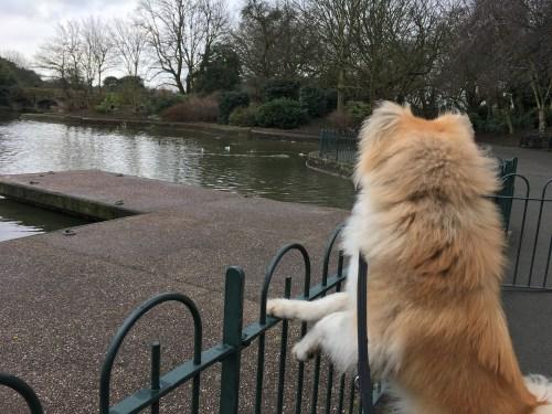 Japanese Akita looking over a lake