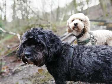 Two dogs on dog walk
