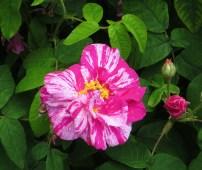 Hyde Hall rose garden, Rosa Mundi?