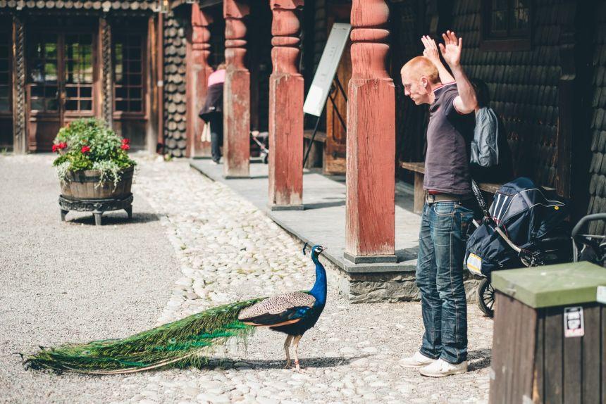 Stockholm Skansen Peacock Holdup