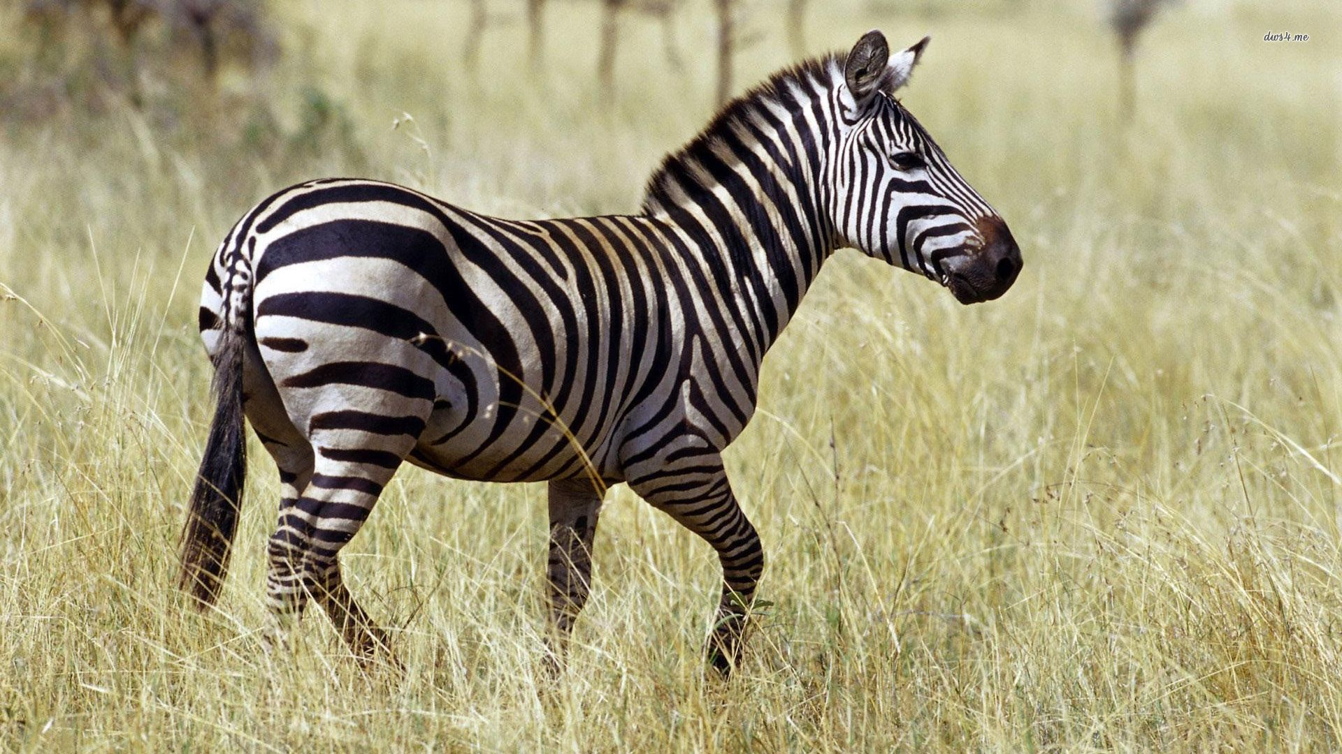 zebra wallpaper themes photography 1080p #10923 wallpaper