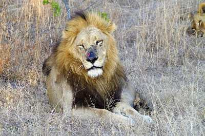 Our South African safari visit was everything we hoped for, with sightings of leopards, elephants, rhinos, giraffes and lions, like the beautiful male shown here.