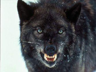 Wolf Wallpapers Desktop Group 87+