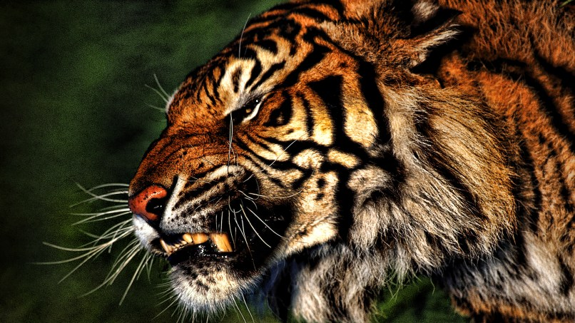 Hd Tiger Wallpapers For Pc Matatarantula