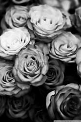 roses desktop iphone wallpapers hd background widescreen mobile laptop 4k