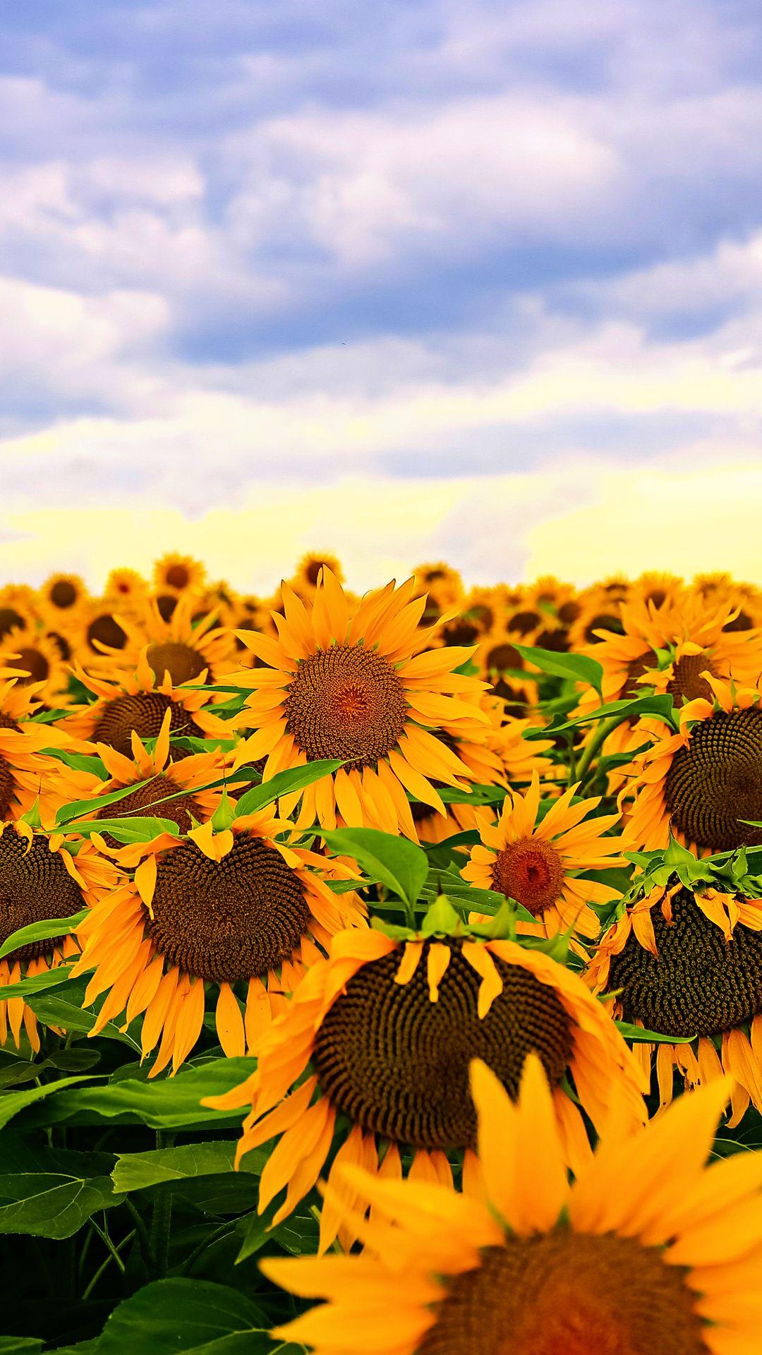 Sunflower Wallpaper Desktop : sunflower, wallpaper, desktop, Sunflower, Wallpapers, WallpaperDog