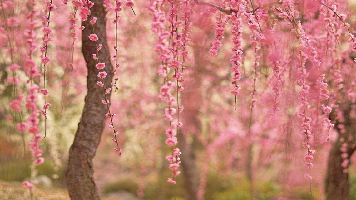 Cherry Blossom Desktop Wallpapers On Wallpaperdog