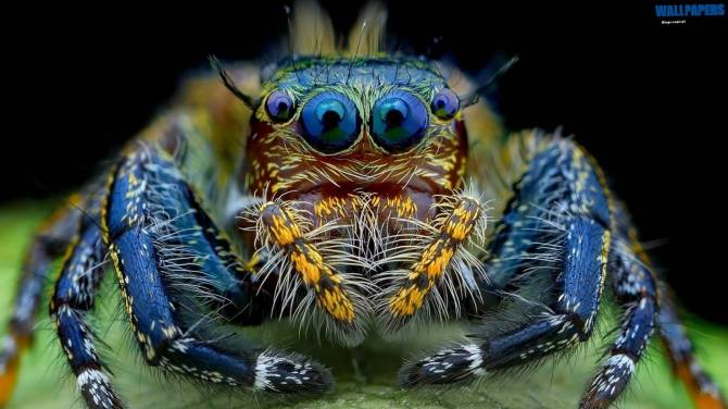 Jumping Spider Macro Insect Wallpaper 1600900 Wallpaper