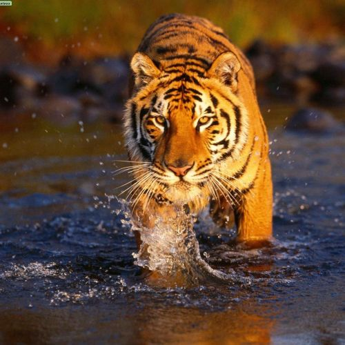 Bengal tiger christian wallpaper free download. Use on PC, Mac, Android, iPhone or any device you like.