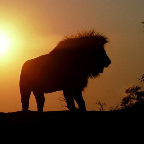 Lion in the morning christian wallpaper free download. Use on PC, Mac, Android, iPhone or any device you like.