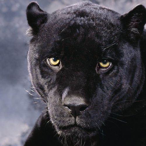 Panther christian wallpaper free download. Use on PC, Mac, Android, iPhone or any device you like.