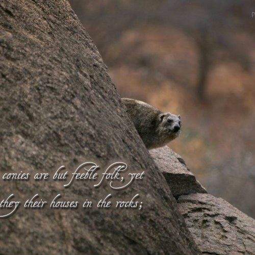 Proverbs 30:26 christian wallpaper free download. Use on PC, Mac, Android, iPhone or any device you like.