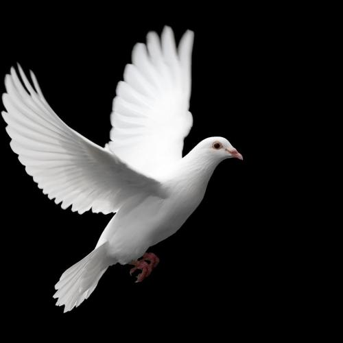 White Dove christian wallpaper free download. Use on PC, Mac, Android, iPhone or any device you like.