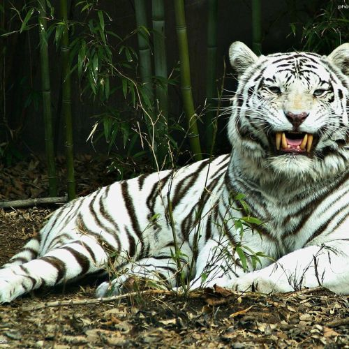 White tiger christian wallpaper free download. Use on PC, Mac, Android, iPhone or any device you like.