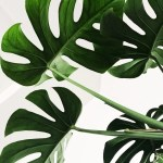 Monstera Wallpapers Top Free Monstera Backgrounds Wallpaperaccess