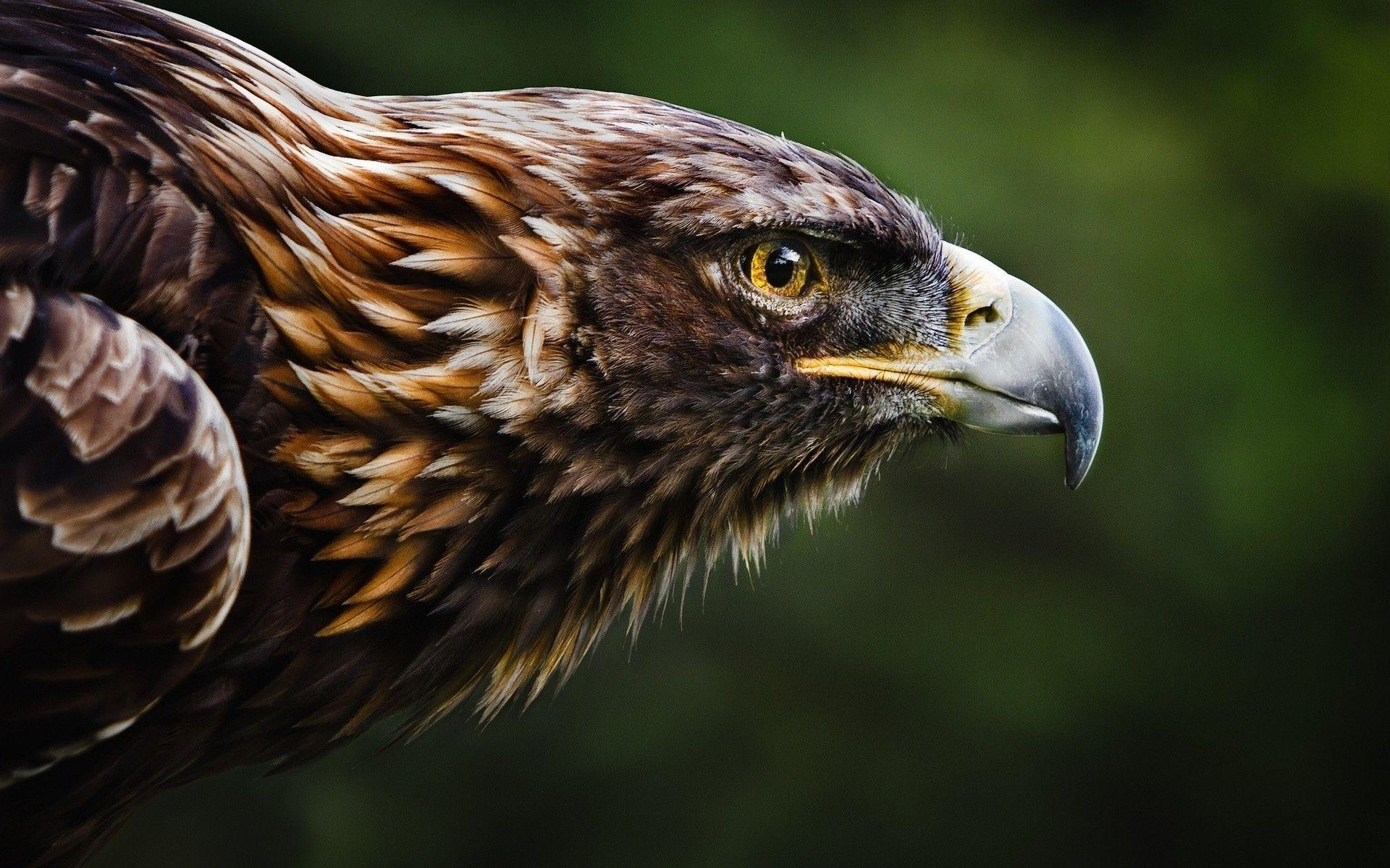 Golden Eagle Wallpapers Top Free Golden Eagle Backgrounds Wallpaperaccess