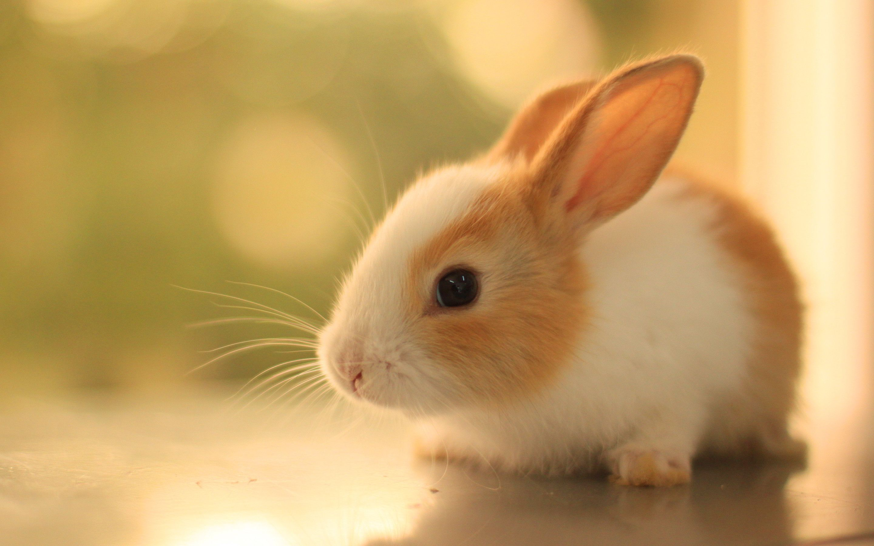 Cute Bunny Rabbits Wallpapers Top Free Cute Bunny Rabbits Backgrounds Wallpaperaccess
