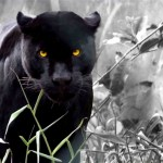 Black Jaguar Animal Wallpapers Top Free Black Jaguar Animal Backgrounds Wallpaperaccess