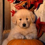 Golden Retriever Puppy Wallpapers Top Free Golden Retriever Puppy Backgrounds Wallpaperaccess