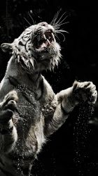 tiger iphone wallpaperaccess backgrounds grin spray wallpapers