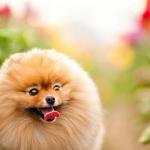 Pomeranian Wallpapers Top Free Pomeranian Backgrounds Wallpaperaccess