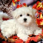 Maltese Wallpapers Top Free Maltese Backgrounds Wallpaperaccess