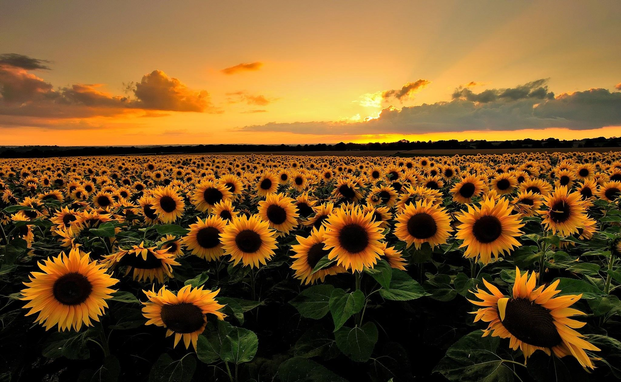 sunflower desktop wallpapers top