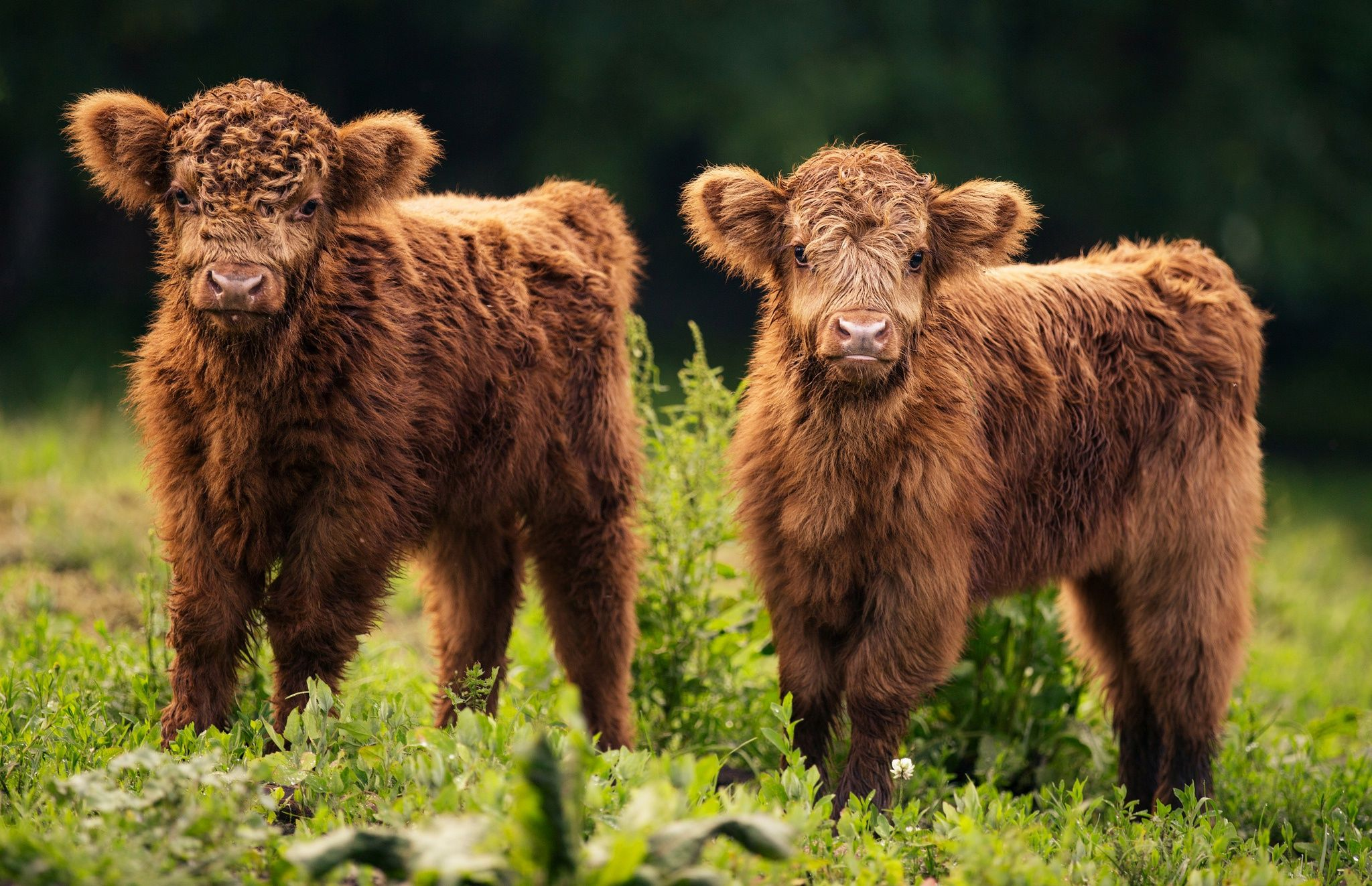 baby cow wallpapers top