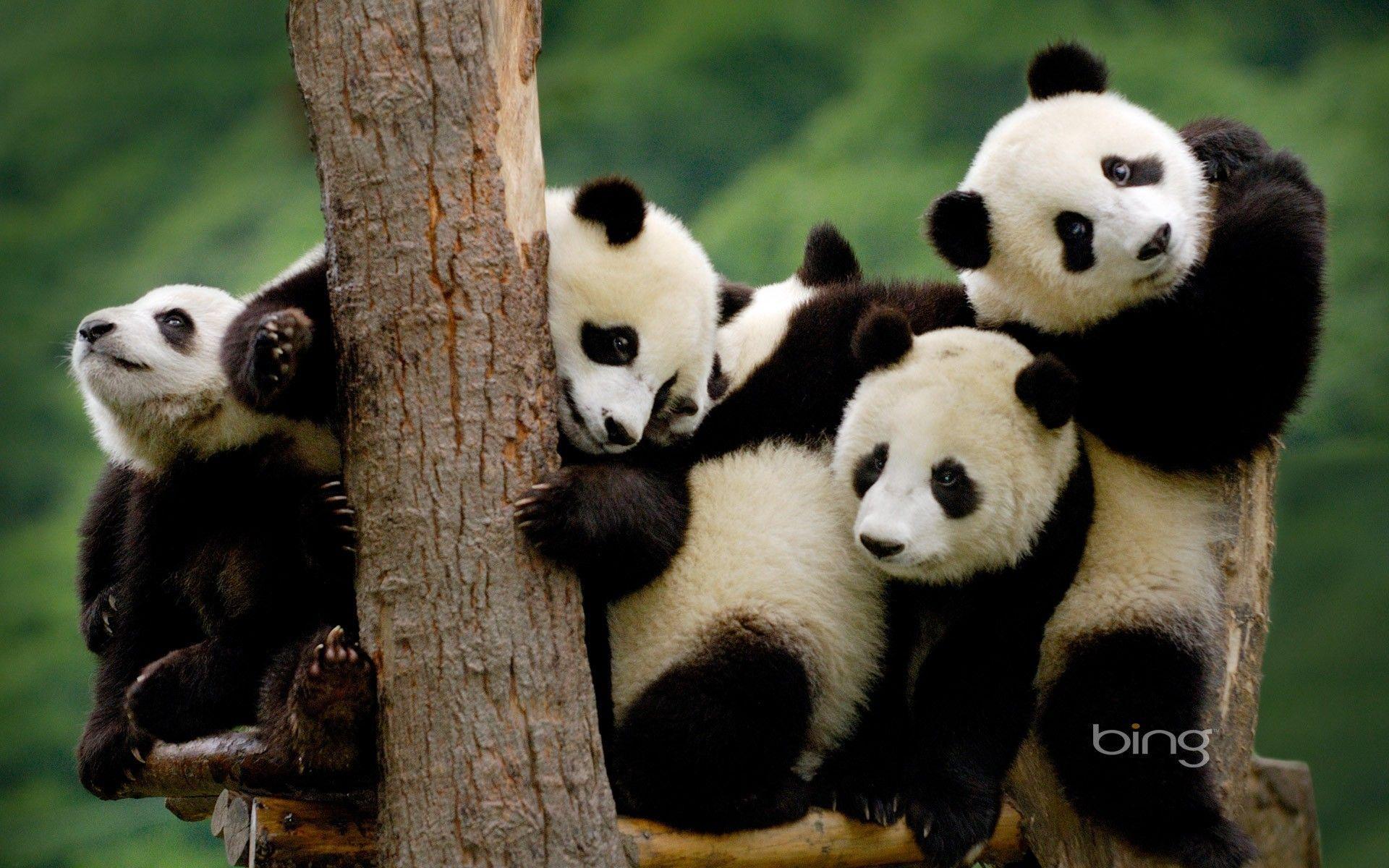 panda bear wallpapers top