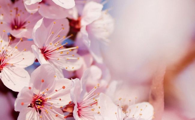 Japanese Cherry Blossom Wallpapers Top Free Japanese Cherry Blossom Backgrounds Wallpaperaccess