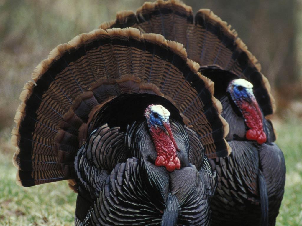 wild turkey wallpapers top