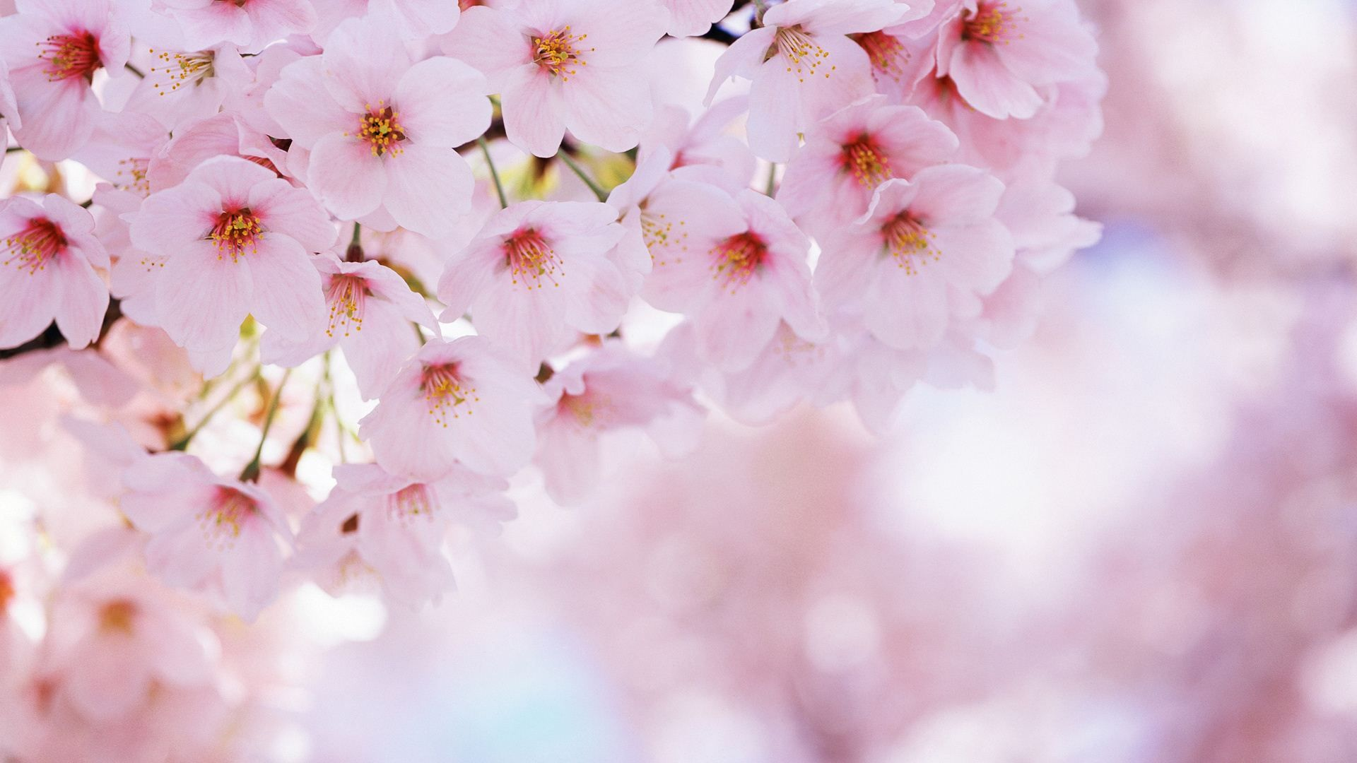 pink cherry blossom wallpapers