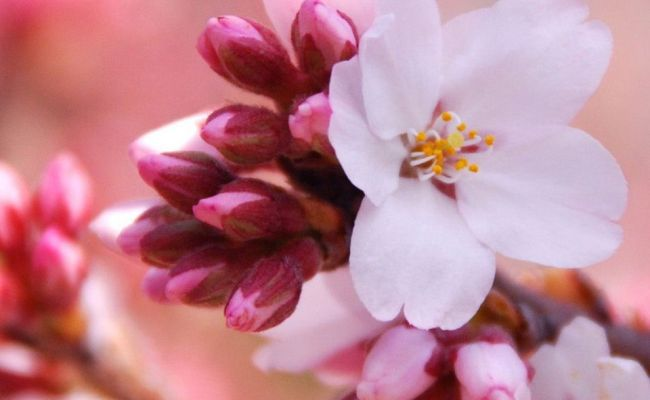 Japanese Cherry Blossom Iphone Wallpapers Top Free Japanese Cherry Blossom Iphone Backgrounds