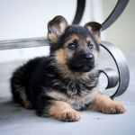 German Shepherd Puppies Wallpapers Top Free German Shepherd Puppies Backgrounds Wallpaperaccess