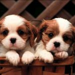 Cute Puppy Wallpapers Top Free Cute Puppy Backgrounds Wallpaperaccess