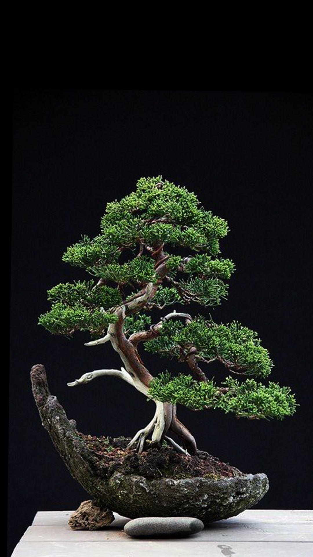 Bonsai Tree Wallpaper : bonsai, wallpaper, Bonsai, Wallpapers, Backgrounds, WallpaperAccess