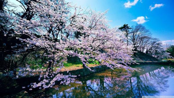 Cherry Blossom Tree Desktop Wallpapers - Top Free