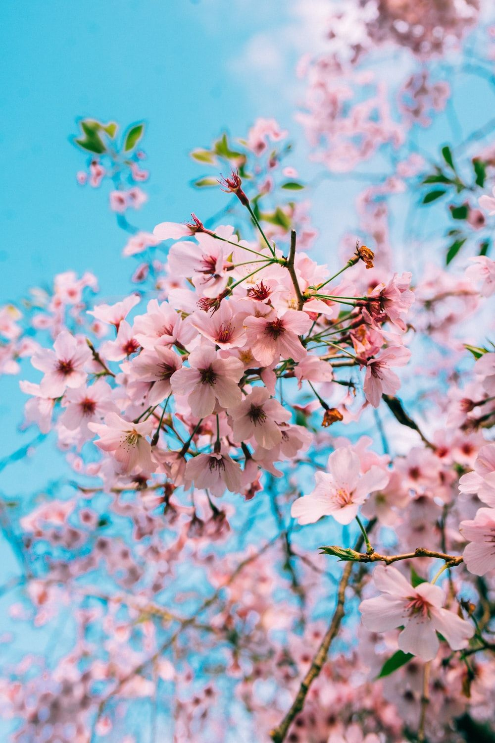 Anime Cherry Blossom Phone Wallpapers Top Free Anime Cherry Blossom Phone Backgrounds Wallpaperaccess