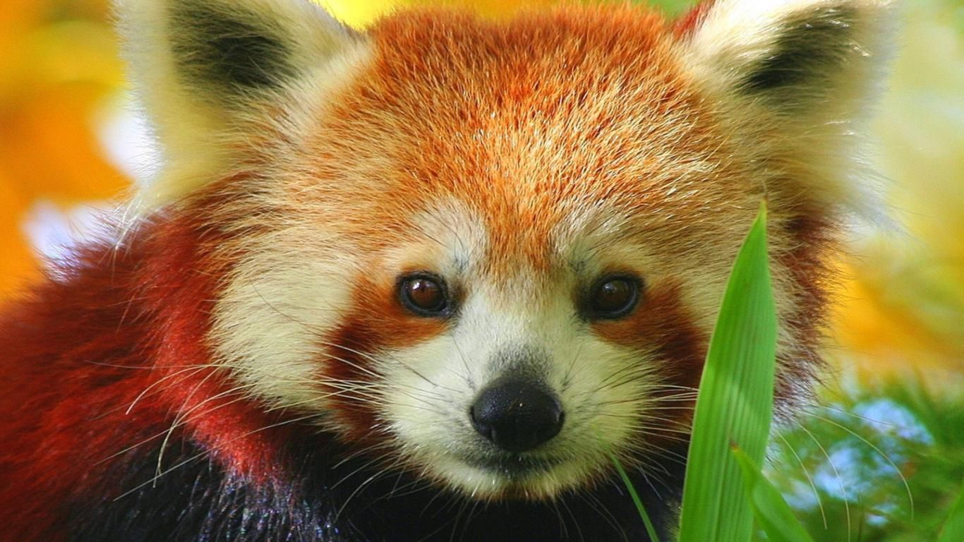 37 best free cute baby red pandas wallpapers - wallpaperaccess