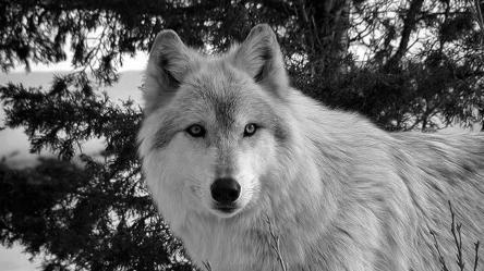 wolf wallpapers winter wolves hd evil wolfs backgrounds pixel wallpaperaccess wallpapersinhq pw